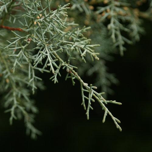 500tree