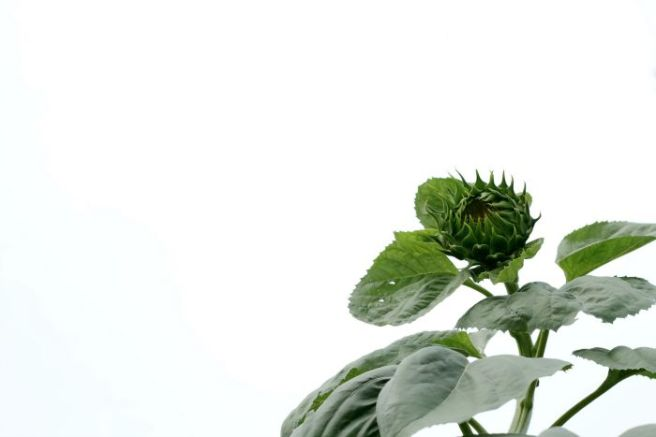 700sunflower
